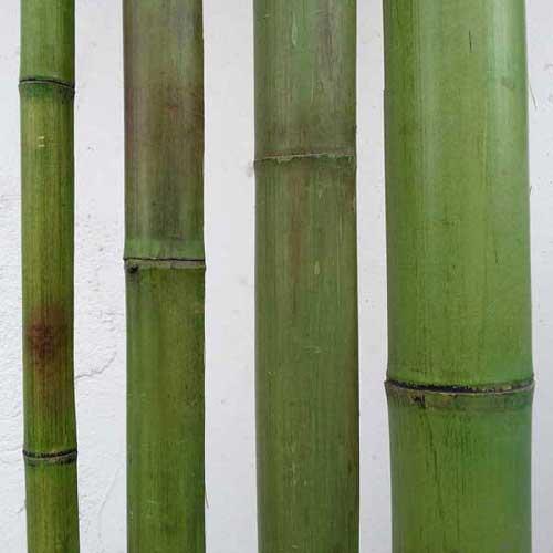 Бамбук зелёный. Вьетнам