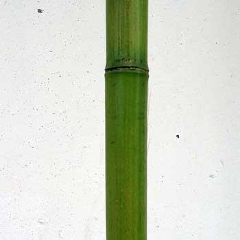 Бамбук зелёный 3 - 4 см.
