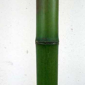 Бамбук зелёный 4 - 5 см.