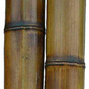 Бамбук ствол стандарт 8 - 9 см