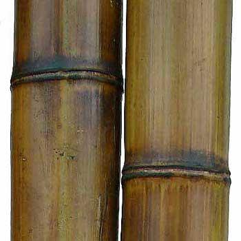 Бамбук ствол стандарт 9-10 см