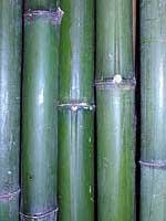 Бамбук зелёный