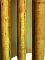 Колумбийский бамбук