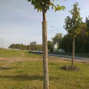 Тростниковые маты для<br />защиты деревьев